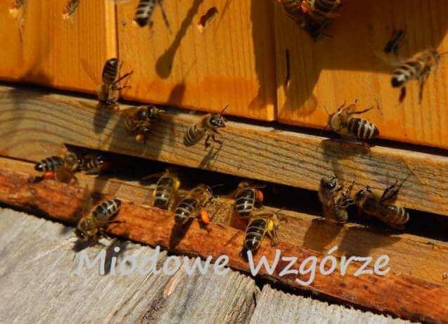 Pszczoły w pasiece Miodowe Wzgórze