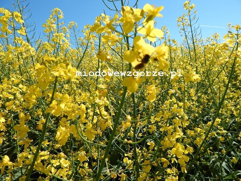 Pszczoły zbierające nektar na polu z rzepakiem.