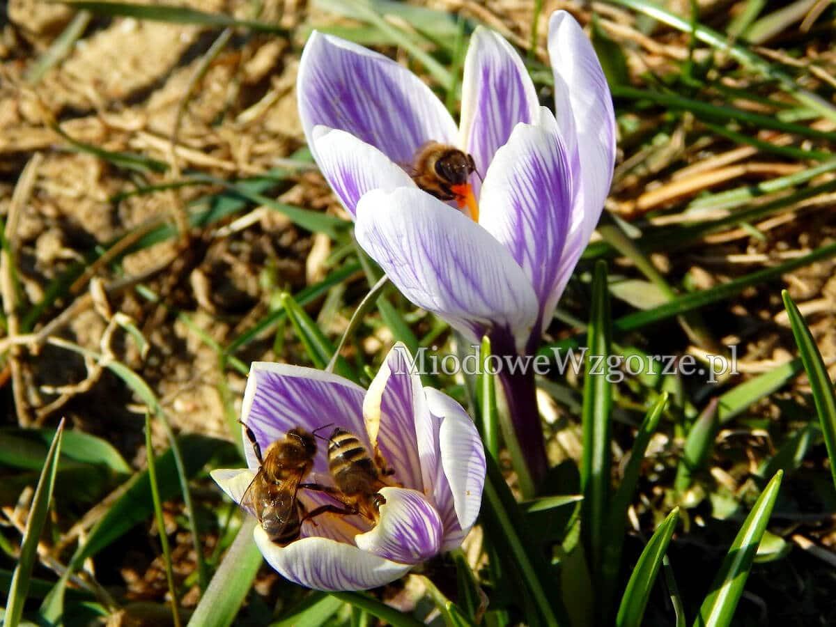 baza pożytkowa w marcu, pszczoły na krokusach