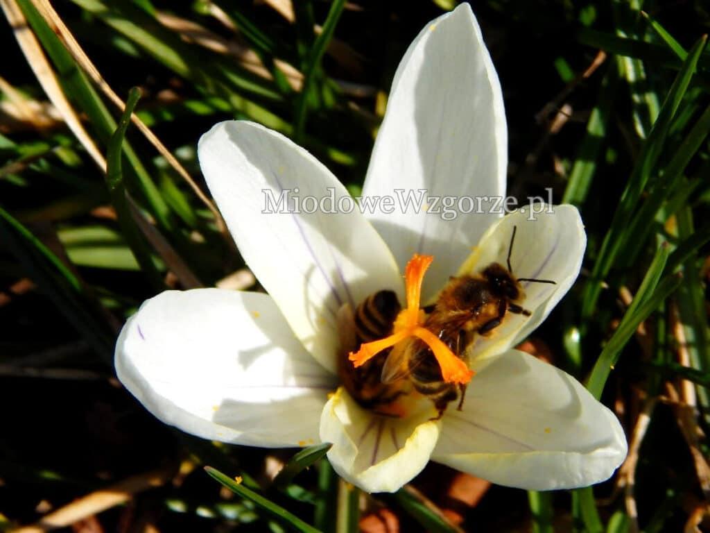 2 pszczółki na krokusie