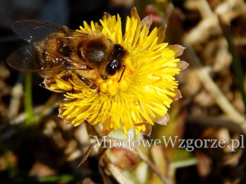 pszczoła w marcu zbiera nektar z podbiału
