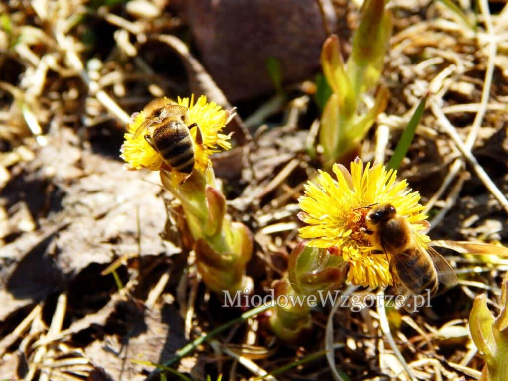 Pszczoły na podbiale