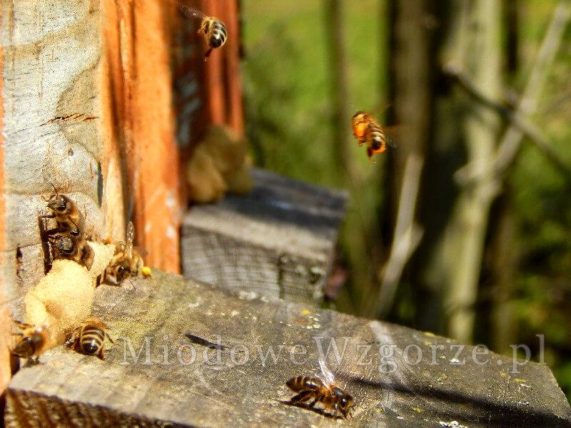 pszczoły w kwietniu