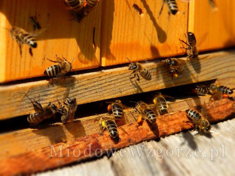 Pszczoły znoszące nektar i pyłek w kwietniu