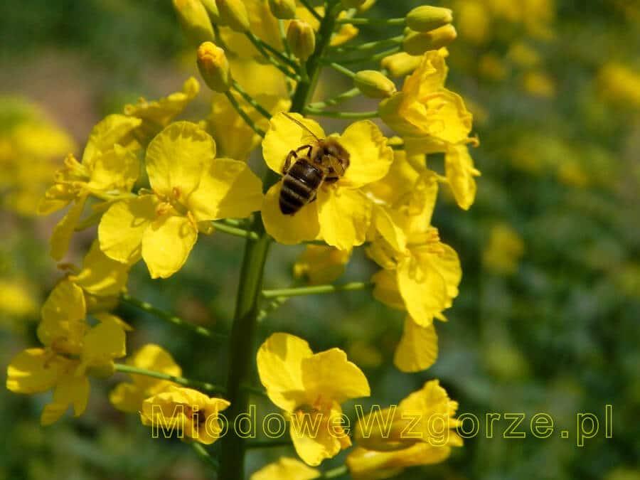 pszczoła w maju na rzepaku
