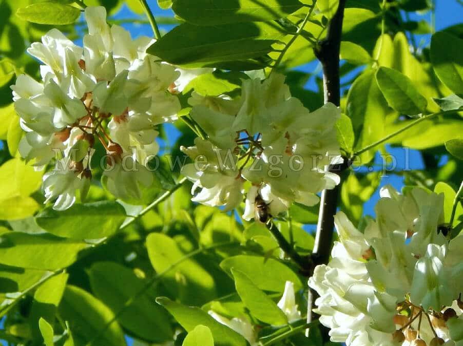 pszczoły na akacji