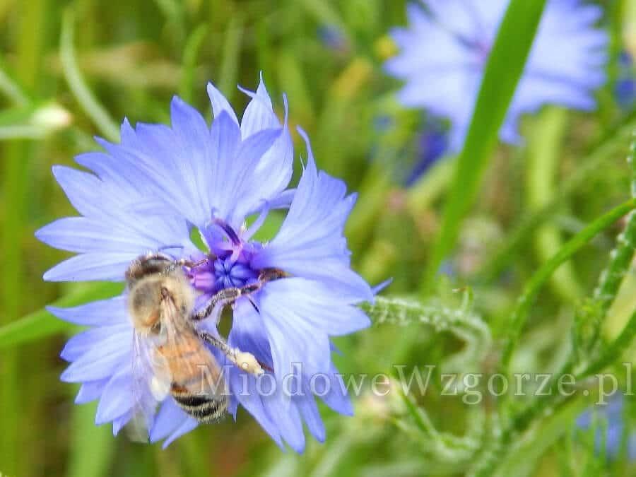 pszczoła na chabrze miododajność 350kg z ha