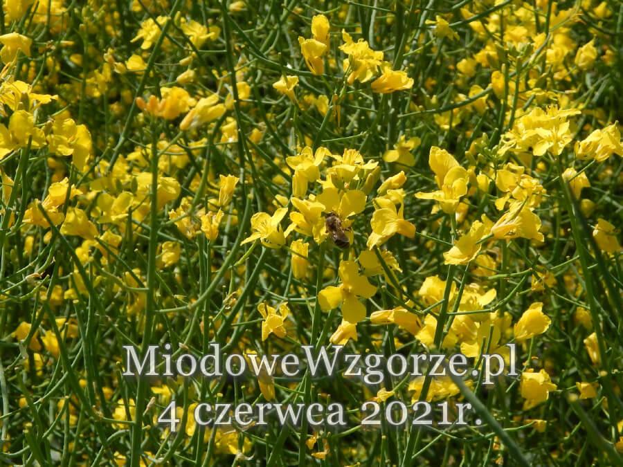 pszczoła na rzepaku czerwiec 2021