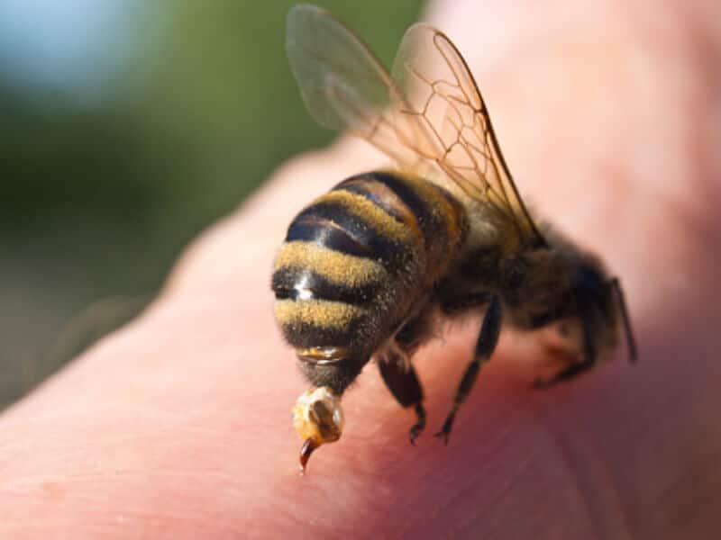 jad pszczeli aplikowany po użądleniu pszczoły